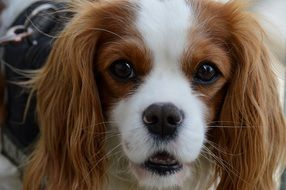 Cavalier King Charles Spaniel has long ears