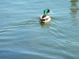 mallard floats on water