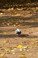 dove walks on the ground with yellow leaves
