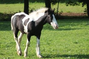 black and white foal stands on green grass