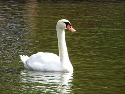 white swan on a lake close up