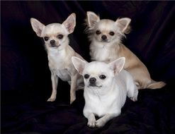 Trio of Chihuahuas