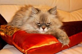 lazy domestic cat lying on the pillow