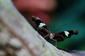 black butterfly with white spots close up