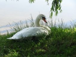 white swan on the green lakeside