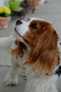 dog breed Cavalier King Charles Spaniel on the street