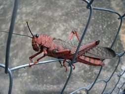 red and grey grasshopper on wire grid