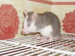domestic rat on the cage