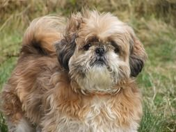 Shih Tzu is an ancient breed of dog