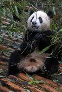 cute giant panda in wildlife