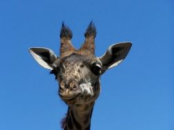 head of a tall giraffe against a blue sky