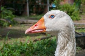 goose head with blue eye close-up