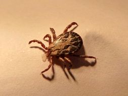 tick is a dangerous insect