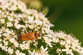 orange beetle on a bush with white flowers