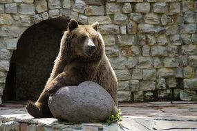 sitting grizzly bear in the zoo