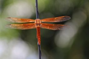 orange dragonfly on a thin branch