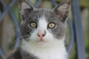 grey and white Cat with yellow Eyes