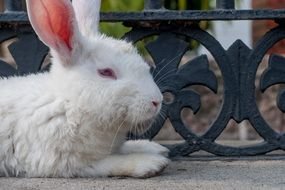 beautiful and cute Rabbit White Resting