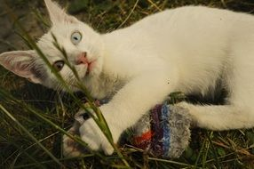 Odd-Eyed White Cat lying on grass