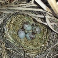 blue and brown spotted Eggs in Bird Nest