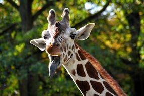 giraffe with sticked out tongue