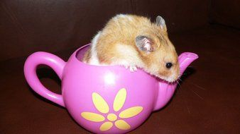 brown hamster in a pink teapot
