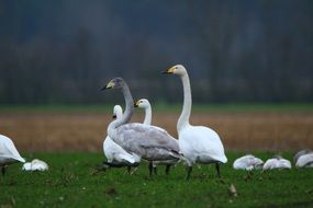 wild whooper swans on the field