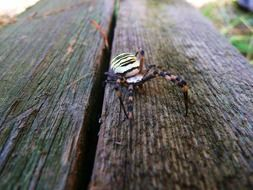 Wasp spider in wildlife