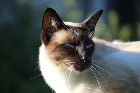 portrait of a tricky siamese cat