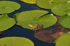 Nature Water frog