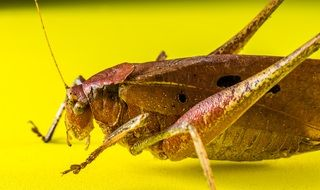 Grasshopper on a yellow surface