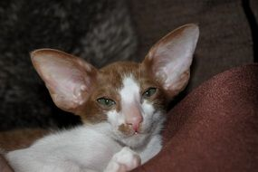 funny thoroughbred oriental shorthair cat