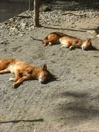 two Dingo Dogs Sleeping in Zoo