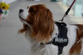 dog breed Cavalier King Charles spaniel on a leash