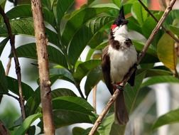 red-whiskered bulbul on the bush