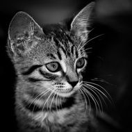 portrait of a kitten in black and white