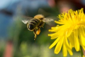 bee flies to dandelion