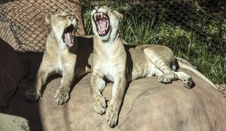 yawning lionesses on the stone