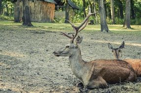 horned deer resting in the forest