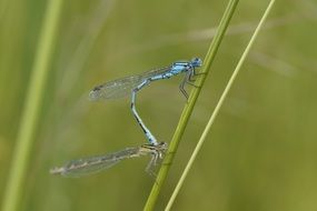 mating of dragonflies in wetland