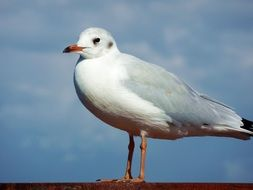 seagull or larus