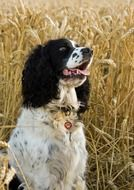 black and white english spaniel on a wheat field