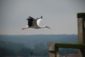 white stork flies over the city