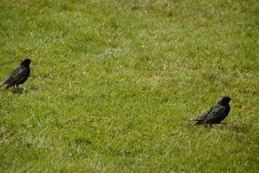 two black birds on green grass