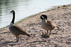 adult and young Canadian geese on Bank at Water