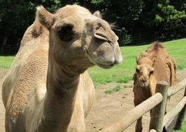 dromedary is a one-humped camel