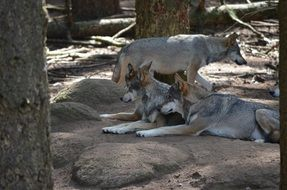 Wild grey wolves