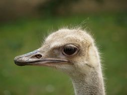 Ostrich head close up, side view