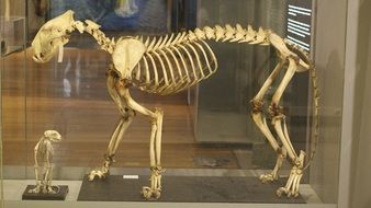 Picture of Tiger\'s skeleton