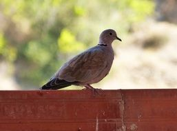 turtledove on wooden fence close-up